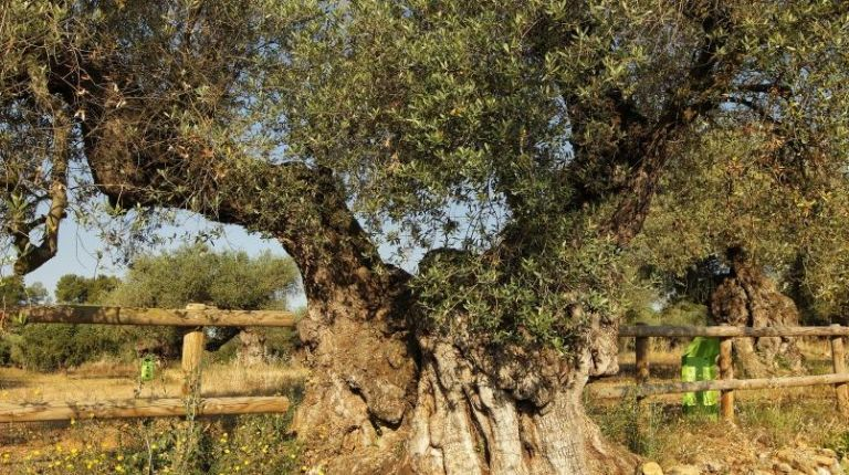 La Generalitat Valenciana lanza un blog para publicitar la Ruta de los Olivos Milenarios