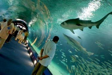 El Oceanogràfic se posiciona como el acuario con mayor número de tiburones de Europa